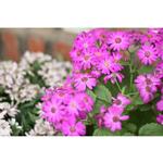 Không khí Tết đến từ những vườn hoa