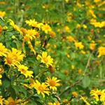 Câu chuyện tình đẫm lệ về hoa dã quỳ