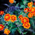 Những sắc hoa rực rỡ trên cao nguyên đá Hà Giang