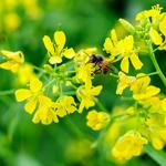 Mùa hoa cải bên sông Đuống