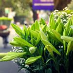 Hoa loa kèn đầu mùa Hà Nội